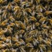 Минсельхоз назвал количество погибших в России пчел